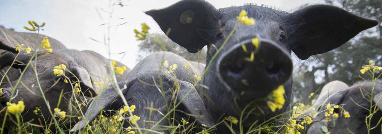 cerdo lampino iberico