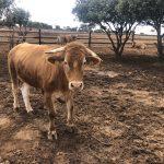 vacca da lavoro El Capricho