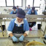 sapienti mani di donna lavorano le acciughe